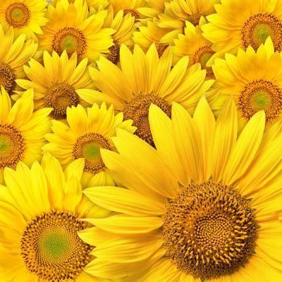 На стену цветы желтые подсолнухи