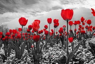 Фотообои на стену цветы тюльпаны