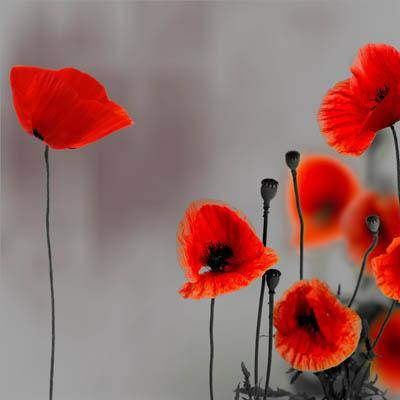 Для дома цветы алые маки на сером фоне