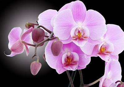 В доме цветы розовые орхидеи на черном