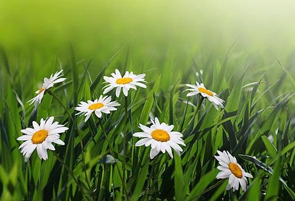 Фотообои природа цветы белые ромашки